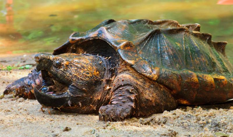 Грифовая черепаха Острые когти и хищно загнутый клюв делают грифовую черепаху довольно опасным противником. Но за добычей ей все равно не угнаться — это же черепаха, в конце концов. Поэтому она выбирает другой способ охоты: ложится на самое дно, открывает пасть и приманивает рыб языком, похожим на свежего червячка. Бедняги просто заплывают в пасть черепахи, даже не понимая, что происходит.