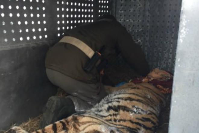 Измученная тигрица со сломанными зубами и когтями вышла к людям и попросила помощи
