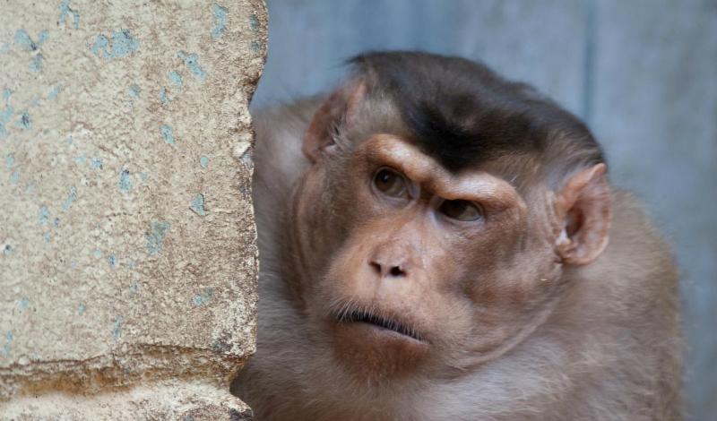 Длиннохвостые макаки С удивительной скоростью приспосабливаются к новым условиям длиннохвостые макаки. К примеру, на территориях большинства балийских храмов живут целые стаи этих умных мошенников, давно уже забывших, как добывать пропитание честным путем. Они действуют иначе: выслеживают беззаботного туриста (притом, обезьяны работают разделившись на несколько команд), выхватывают у него что-то ценное и не отдают, пока не получат внушительные «откупные» едой.
