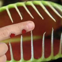 Что будет, если заснуть палец в плотоядное растение
