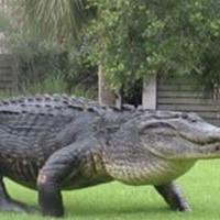 Динозавр из болота: огромный аллигатор вышел прямо к людям
