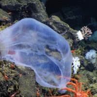 Странная медуза из темных глубин океана впервые попала на видео