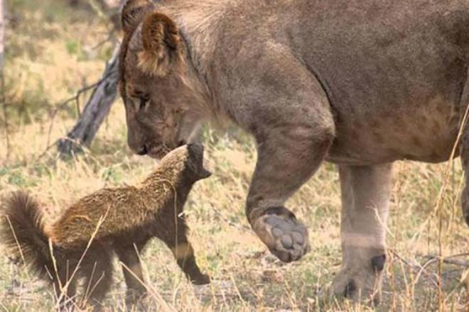 Два совершенно безбашенных зверя, которых боятся львы и тигры