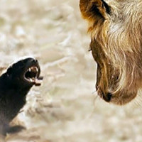 Безбашенный медоед: зверь, которого боится даже лев