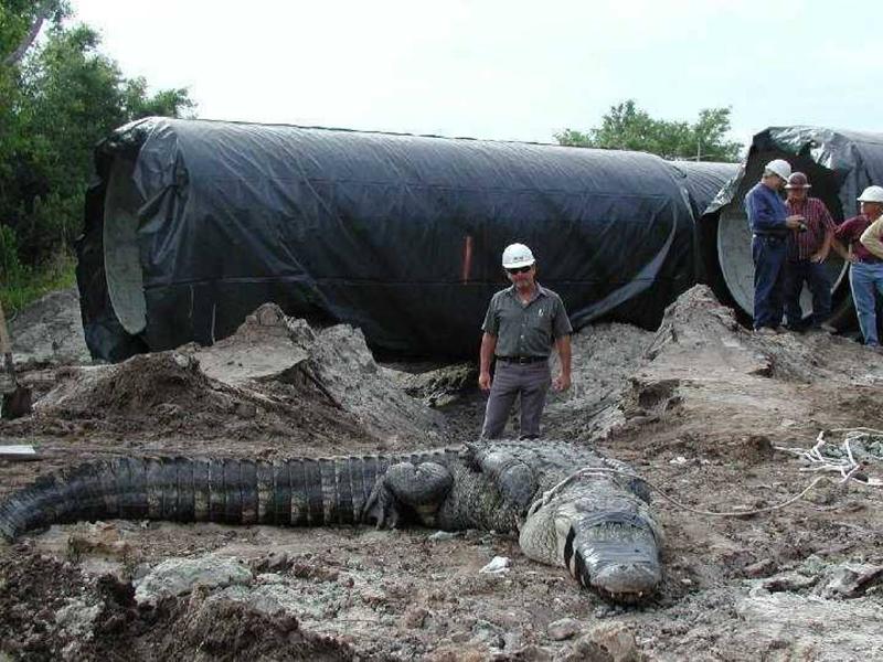 Аллигатор В 2006 году был обнаружен 600 килограммовый аллигатор шириной в 1 метр, он застрял в канализационной трубе в Техасе. Аллигатор был настолько большим, что не мог даже пошевелиться внутри трубы.