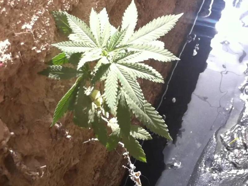 Трава Кто-то, предположительно, поспешил утилизировать что-то компрометирующее, и смыл семена в унитаз в штате Вашингтон. То, что произошло дальше, почти невероятно — семена проросли внутри канализации.