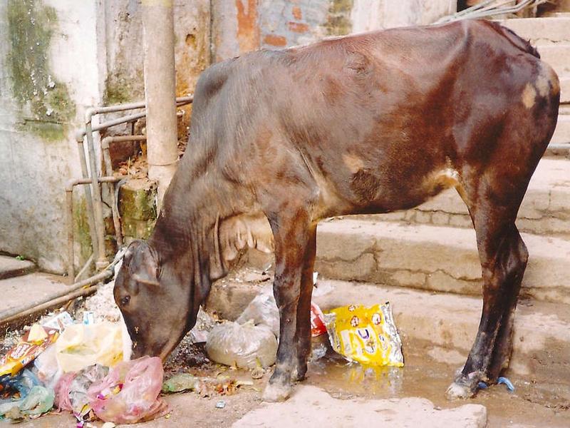 Корова Эта корова была обнаружена в спуске канализации на архипелаге Фиджи.