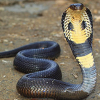 Питон против кобры: схватка шипящих чудовищ