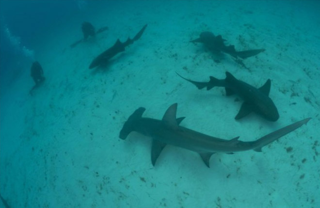 Битва акул и бегемотов попала на видео: война титанов