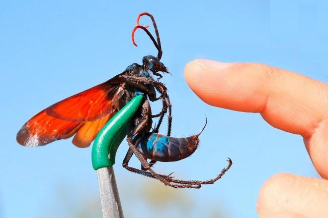 5 самых опасных насекомых России (2 фото + видео)