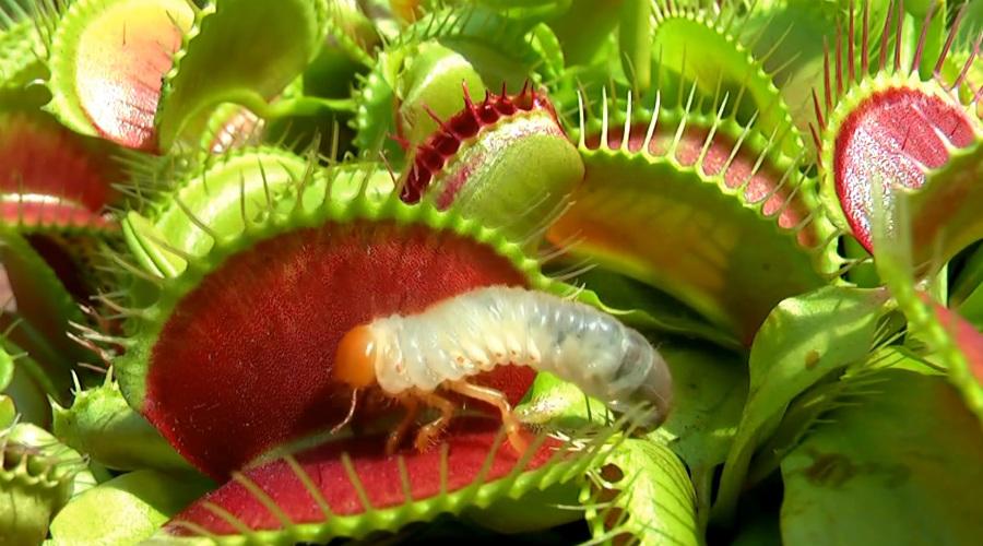 Венерина мухоловка Растение-клетка, охоту которого можно заметить и невооруженным глазом. Даже листья венериной мухоловки выглядят как пасть неведомого чудовища: колючки выполняют роль решетки. Этот зеленый хищник буквально растворяет своих жертв заживо — такого и в фильмах ужасов не показывают.