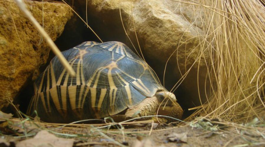 Лучистая черепаха 188 лет К сожалению, этот вид черепах находится на грани уничтожения. Именно такую подарил, согласно легенде, капитан Кук вождю острова Тонго и она прожила целых 188 лет, найдя покой только в 1965 году.