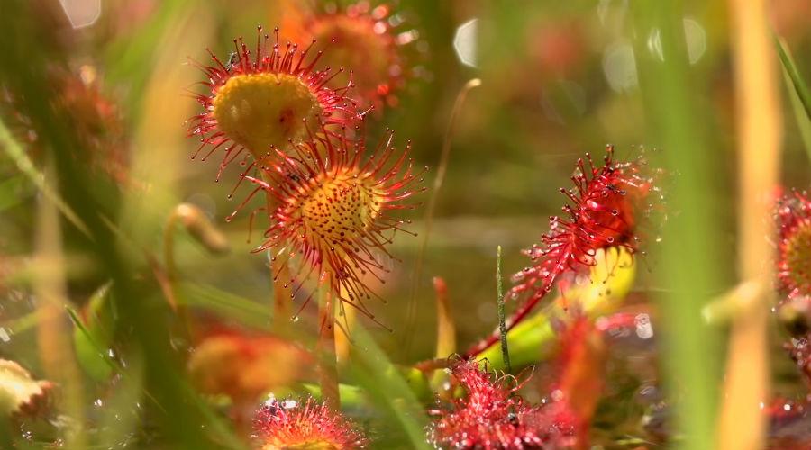 Росянка Листья росянки стелются по земле. Это и есть приманка: тончайшие волоски растения выделяют липкий сок, он же фермент для переваривания добычи. Жертва прилипает к ловушке намертво и росянка начинает поедать ее заживо, одновременно скручивая вокруг тела листок. Обычно росянка обходится насекомыми, но в ловушку особо крупных экземпляров иногда попадают и лягушата.