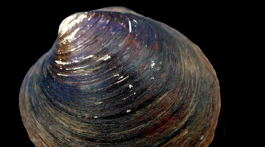 Моллюск Arctica islandica 507 лет Биологи сильно удивились, обнаружив что обычные с виду раковины оказались на самом деле моллюском, да еще и максимально необычным. Ученые выяснили, что в среднем вид Arctica islandica доживает до 300 лет, а один экземпляр (исследователи прозвали его Мин) умудрился и вовсе отметить 507 день рождения.