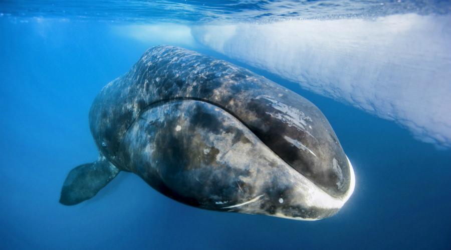 Гренландский кит 211 лет Раньше ученые считали, что гренландские киты доживают всего до 70 лет. Но в теле одного из пойманных недавно китов обнаружили наконечник гарпуна датированного началом XIX века и ученым пришлось изменить имеющиеся представления о сроке жизни китов. Самому старому обнаруженному гренландскому киту было 211 лет — кто знает, может быть и это еще не предел.