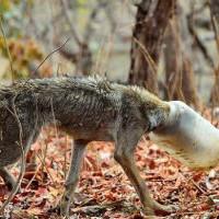 Дикий волк с бутылью на голове вышел к людям и попросил помощи