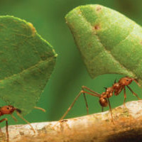 Как муравьи строят муравейник