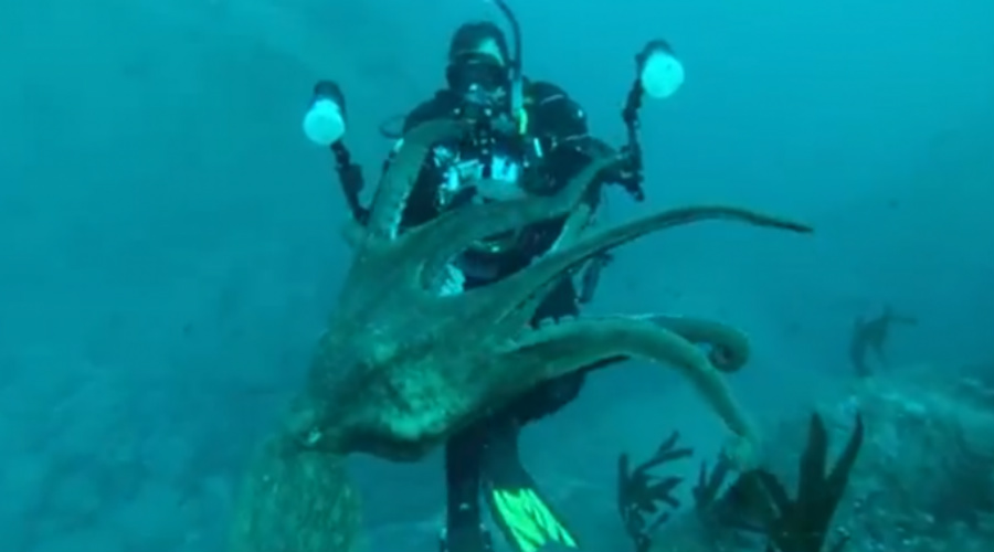 Подводный дьявол На ликвидации подводной аварии у берегов Новой Зеландии в 1981 году работали десятки дайверов. Гордону Скорки не повезло больше всех: именно его осьминог избрал своим ужином. Огромный охотник обвил дайвера щупальцами и не успей Скорки подать на поверхность сигнал, все могло бы закончиться очень плохо. Дайверавытащили на борт вместе с осьминогом.