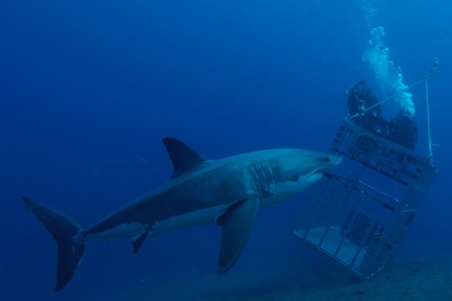 Правильно выбирайте место и время для отдыха Если вы не мыслите свой отпуск без океана, выбирайте пляжи, воды которых защищены специальными противоакульими сетками (они очень распространены в Австралии, Новой Зеландии, Южно-Африканской Республике и Гонконге), а вот открытого моря и глубоководных проливов лучше избегать. Повстречать акул можно и в пресной воде: например, озеро Никарагуа известно обитающим в нем одноименным видом акул, гангская акула водится в бассейне реки Ганг, а тупорылая акула в поисках пищи порой преодолевает десятки и сотни километров вверх по течению Миссисипи, Амазонки, Замбези, Ганга, а также рек Австралии и Южной Африки. Вероятность встречи с акулой сильно возрастает ночью, когда к поверхности воды поднимается планктон: он привлекает мелких рыб, те в свою очередь, приманивают крупных хищных рыб, за которыми ведут охоту уже акулы. Рассвет и сумерки также считаются опасным временем для купания.