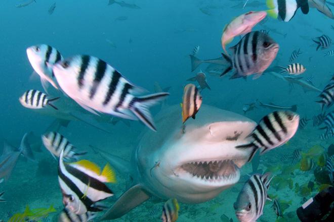 Смотрите в оба Плавая в водах, где обитают акулы, внимательно смотрите по сторонам, чтобы не пропустить их приближения, ведь они нередко нападают внезапно. Если же вы вдруг повстречали-таки акулу, ни в коем случае не спускайте с нее глаз: часто перед нападением эти хищники кружат вокруг потенциальной жертвы, а затем резко нападают сбоку или со спины, ваша же задача – не дать этой неожиданной атаке пройти. Если вы находитесь в компании других пловцов или дайверов, повернитесь друг к другу спинами – это обеспечит вам лучший обзор и более эффективную защиту. Даже если акула не проявляет видимых признаков агрессии и не преследует вас, пока вы уплываете прочь, все равно старайтесь не упускать ее из поля зрения.