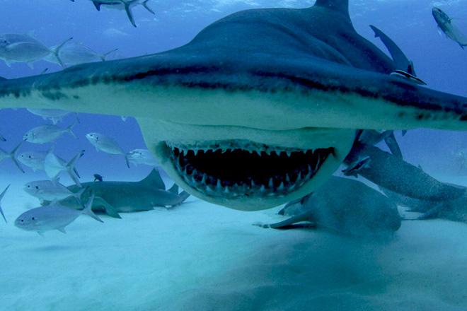 Правильно подготовьтесь Хотя расхожее мнение о том, что акула чует каплю крови за несколько километров, не получило подтверждения, обоняние у акул действительно хорошее, и лучше не испытывать судьбу и не лезть в воду, если на теле есть кровоточащие царапины. Хотя лишь немногие акулы – например, слоновая – различают цвета, они способны видеть контрасты, поэтому, если не хотите вызвать у этих хищников ассоциации с тропическими рыбами, от полосатого купальника лучше отказаться. Блестящие украшения отражают свет, как рыбья чешуя, поэтому их тоже лучше оставить на суше. Отправляйтесь купаться в компании, ведь эти подводные хищники охотнее нападают на одиночек. Если вы собираетесь исследовать водные глубины, не помешает вооружиться специальной акульей дубинкой, которую в свое время опробовал (и, предположительно, изобрел) Жак Ив Кусто, описав свой опыт в книге «Живое море».