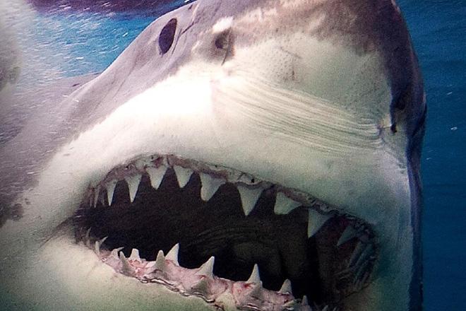 Бейте в уязвимые точки Органы акулы способны улавливать следы электрических импульсов, вырабатываемых сердечной мышцей, поэтому притвориться мертвым не получится. (Да и в любом случае они не брезгают падалью). Бегство – вариант только тогда, когда акула не показывает признаков враждебности, да и вообще находится на приличном расстоянии. Если же хищник настроен агрессивно, в заплыве наперегонки с ним вам не выиграть, так как при нападении акулы способны развивать высокую скорость (более 50 км/ч у акул-мако и более 40 км/ч у белых акул). Единственное, что вам остается в такой ситуации – собственноручно доказать агрессору, что с человеком лучше не связываться. У акулы есть три уязвимые точки – это глаза, жабры и кончик носа, на котором сосредоточено множество рецепторов и нервных окончаний. Вам нужно целиться именно в них. Здорово, если у вас есть гарпун, копье или ружье для подводной охоты. Если их нет, подойдет камень, камера, маска для плавания или любой другой предмет. В крайнем случае пускайте в ход кулаки, локти, ноги и колени. Удары должны быть точными, сильными и быстрыми. Даже если акула вас укусила, не останавливаясь, продолжайте бить ее в уязвимые точки, пока она не отступит. Но даже в этом случае не стоит расслабляться – по вашу душу могут пожаловать ее сородичи, поэтому после боя быстрыми и плавными движениями плывите в безопасное место.
