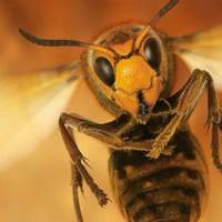 Ученые объяснили, почему осы ненавидят людей летом