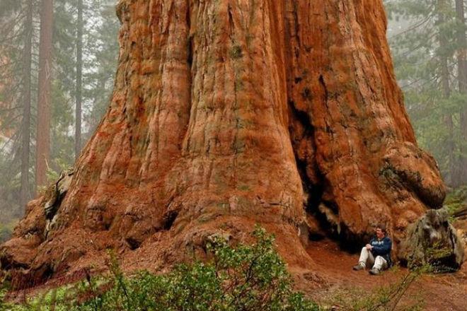Дерево выросло на 115 метров: в 40 этажей высотой