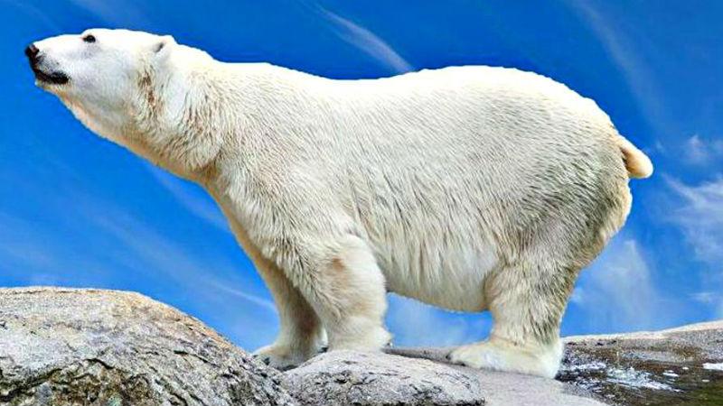 Белый медведь Самый крупный наземный хищник весит до полутора тонн. Боится ли кого-то белый медведь в принципе? Вряд ли. Свирепый полярный хищник не отделяет человека от прочей добычи, что делает их очень опасными. Каждый год от когтей и зубов белого медведя гибнет в среднем от 10 до 30 человек.