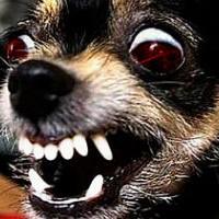 5 самых злых маленьких собак в мире
