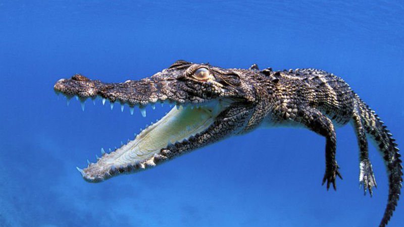 Гребнистый крокодил Идеальный хищник. Средний самец вырастает 3,5 метров в длину, но исследователям встречались и семиметровые особи. Быстрая, проворная рептилия обладает прекрасным зрением и слухом. Спастись от нападения гребнистого крокодила удавалось единицам.