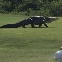 Огромный аллигатор вышел на поле для гольфа