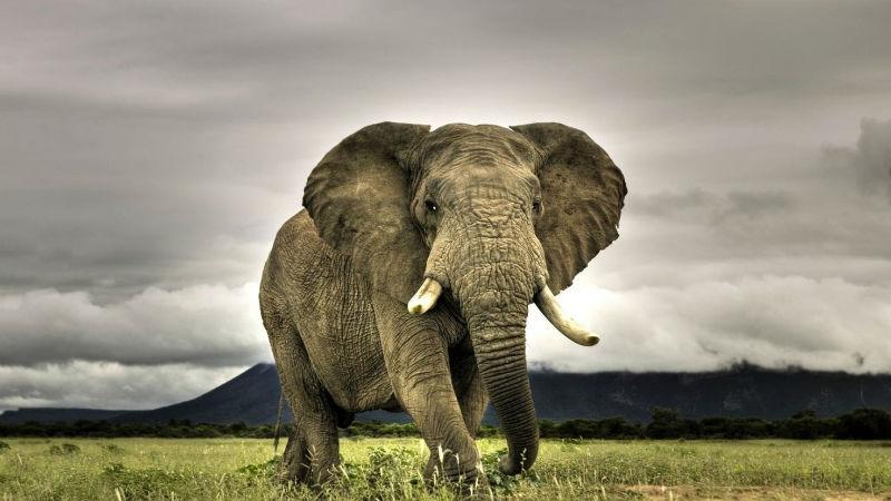 Слон Добродушными гигантами слоны выглядят лишь издалека. Мощные бивни и внушительный размер позволяет слонам бесстрашно разгуливать по любой территории. Кроме того, слоны известны припадками совершенно внезапной ярости. Встречи с несколькими тоннами концентрированной злости не переживает ни техника, ни человек. Что хуже всего, отдельные особи отчего-то впадают в ярость на годы. От подобного соседства в Африке сбегали целые деревни.