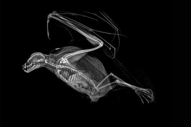Родригесская летучая лисица