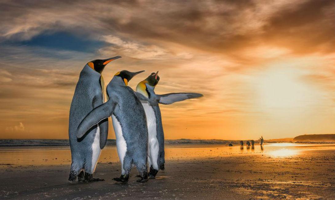 Три короля Вим Ван Ден Хивер Королевские пингвины на пляже исполняют захватывающий брачный танец. Самцам придется серьезно постараться в борьбе за сердце самки!
