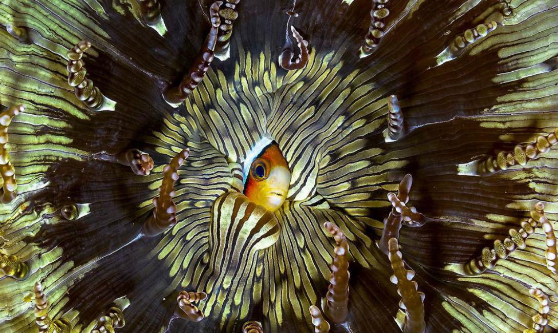 Застенчивость Педро Каррильо Завораживающая мозаика сложилась из песчаного анемона, в который будто в стеснении прячется молодая рыба-клоун.