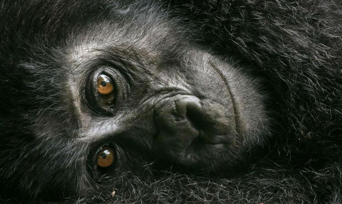 Отдых горной гориллы Дэвид Ллойд Фотограф поймал кадр маленькой гориллы, с любопытством глядящей прямо в объектив. Дэвид Ллойд прошел несколько километров за стаей, чтобы сделать снимок.