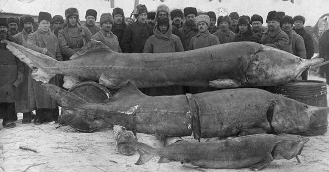 Белуга весила 1490 килограмм: самая большая рыба из реки