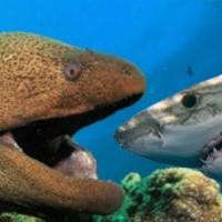 Акула осматривала владения и столкнулась с муреной