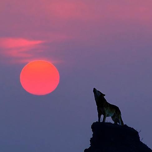 Восхождение Черного волка: как обычные волки становятся вожаками стаи