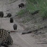 Отчаянный мангуст преподал урок леопарду