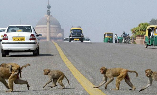 Тысяча обьезян устроила набег на индийский город