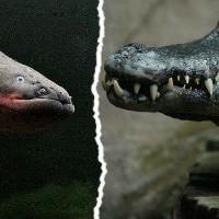 Крокодил осматривал владения и столкнулся с электрическим угрем