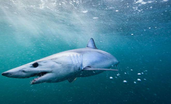 Почему акула быстро плавает