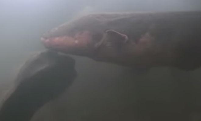 Крокодил вышел на охоту и столкнулся с электрическим угрем