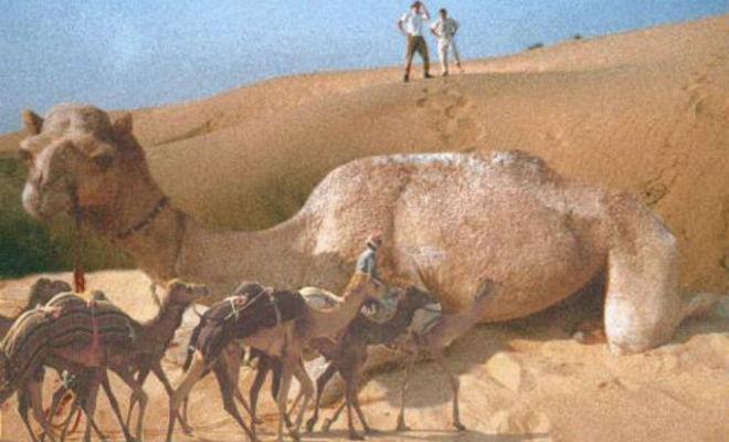 Сирийский верблюд: горбатый гигант, который был больше слонов