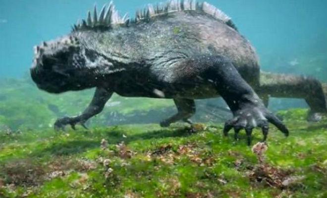 Мангуст загнал огромную игуану в бассейн и вызвал переполох