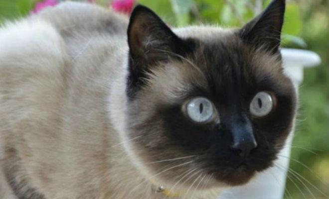 10 пород кошек с самым трудным характером