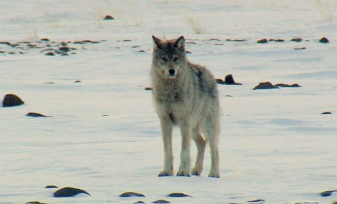 Наедине с волками: смельчак прошел через ледяную пустыню