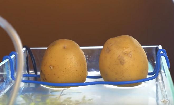 Выращиваем картошку в аквариуме с рыбой